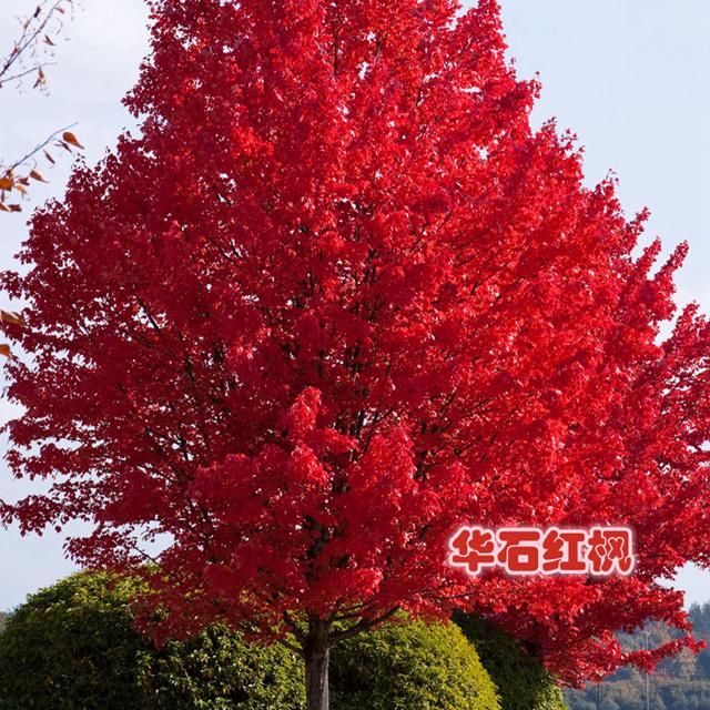 美国红枫:红日8-20公分