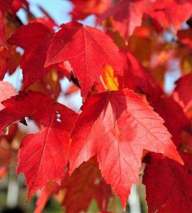 美国红枫:夕阳红8-30公分