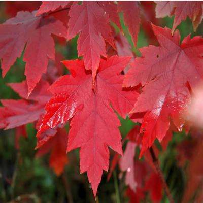 美国红枫:秋火焰10-30公分