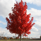 美国红枫:太阳谷8-20公分