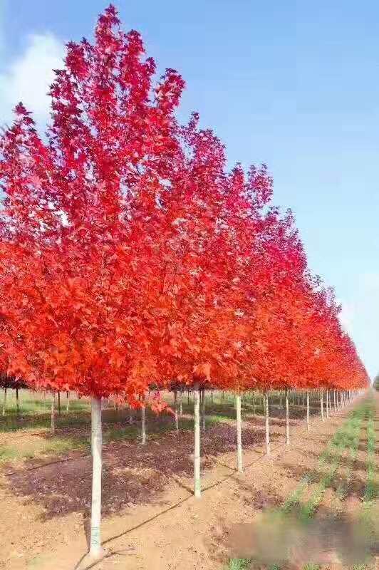美国红枫:秋日梦幻10-20公分