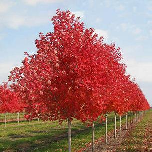 美国红枫:十月光辉8-25公分