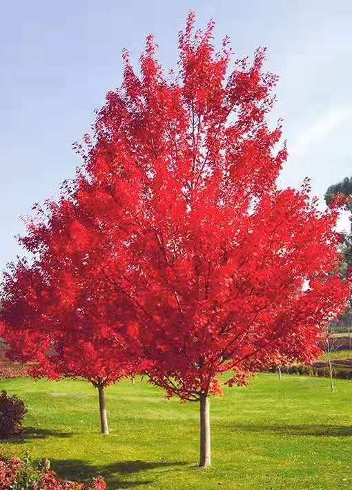 美国红枫:红酒佳人 5-15公分