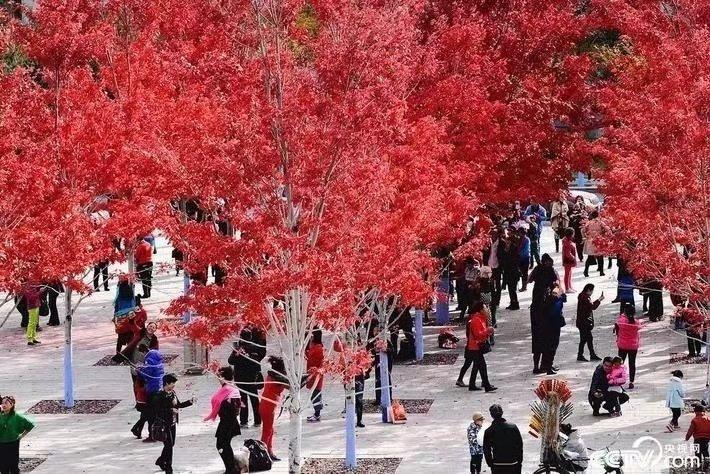美国红枫 8-30公分