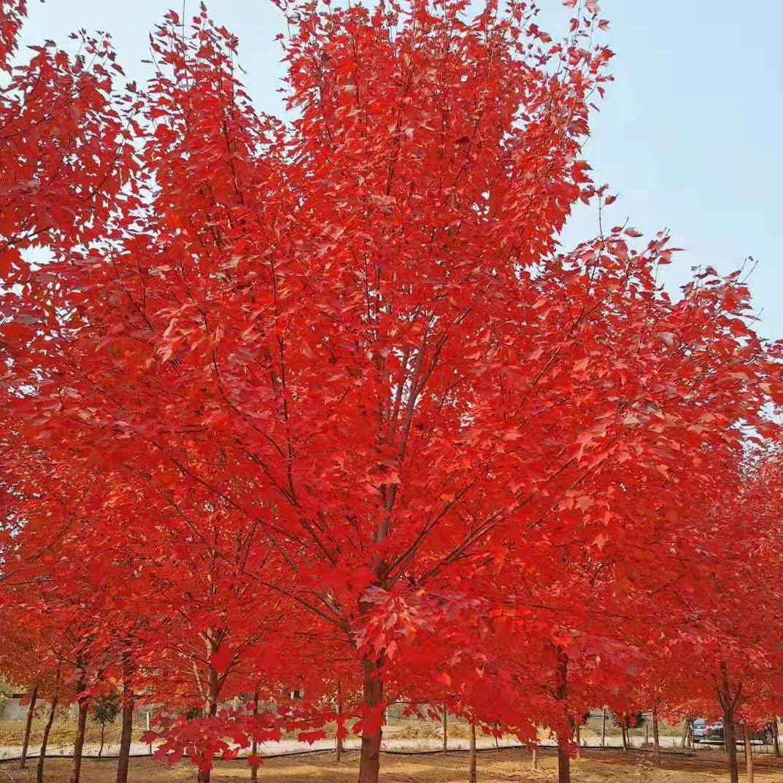 美国红枫:红冠5-15公分