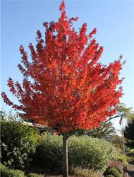 美国红枫:红点8-20公分