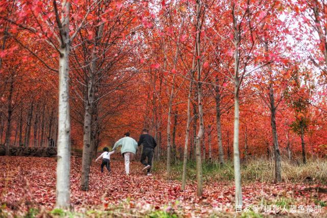藏在山里的红枫林,你知道在哪里么?