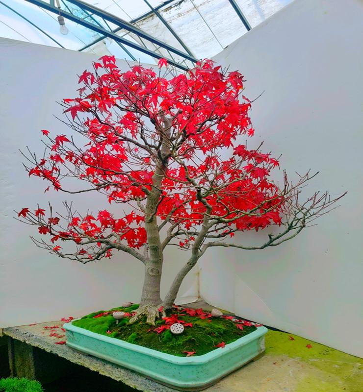 山红叶日本红枫盆景