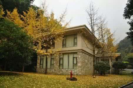 南京紫金别墅区订购的景观银杏树