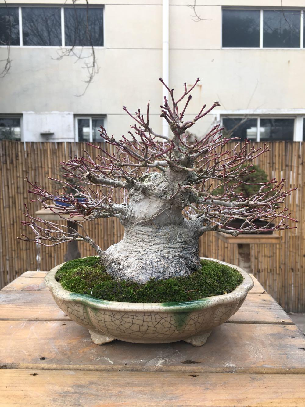 日本小品山红叶 红枫盆景 矮霸枫树盆景