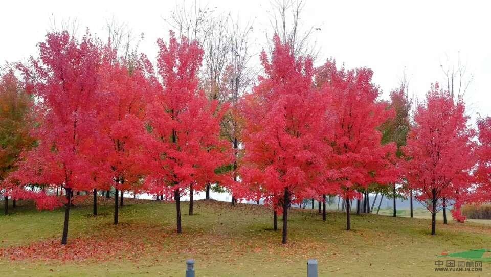 美国红枫蕴藏着巨大的商业价值