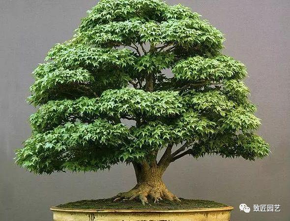 世界十大盆景排名,第一名已有八百年树龄
