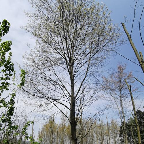 美国红枫30-35公分