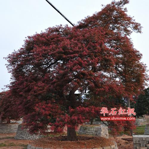 日本红枫 • 红羽毛枫