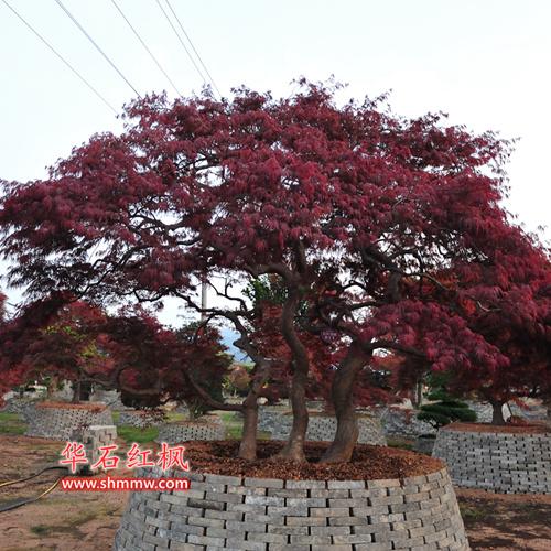日本红枫 • 红羽毛枫(一本三杆)
