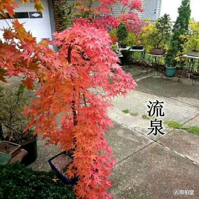 日本红枫 • 流泉