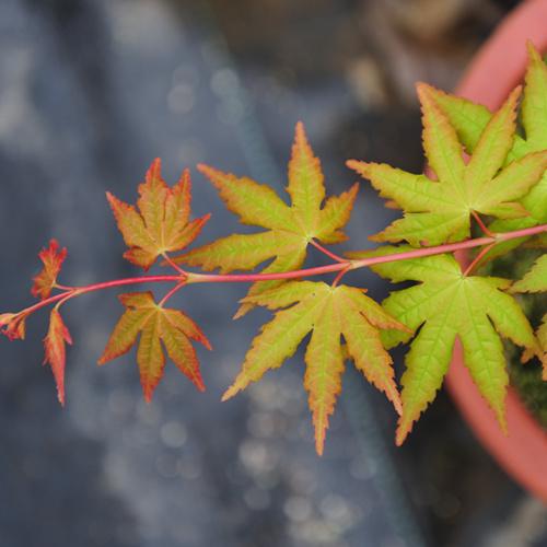 日本红枫 • 黄金叠瀑