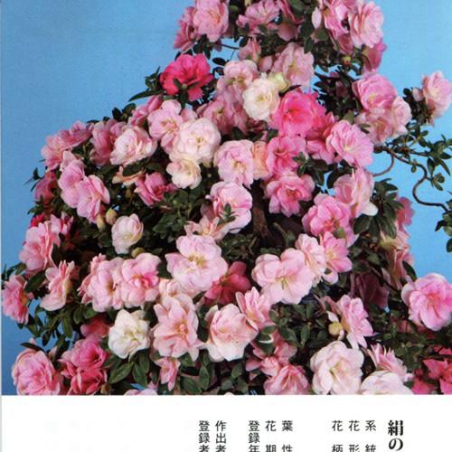 皋月杜鹃 • 绢之舞Kinu-no-Mai