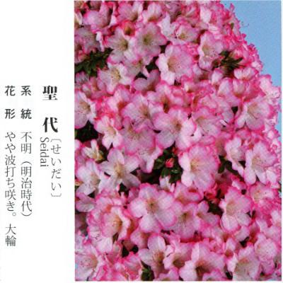 皋月杜鹃 • 圣代 Seidai
