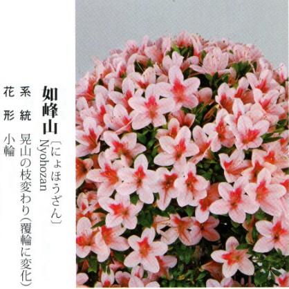 皋月杜鹃 • 如峰山Nyohozan