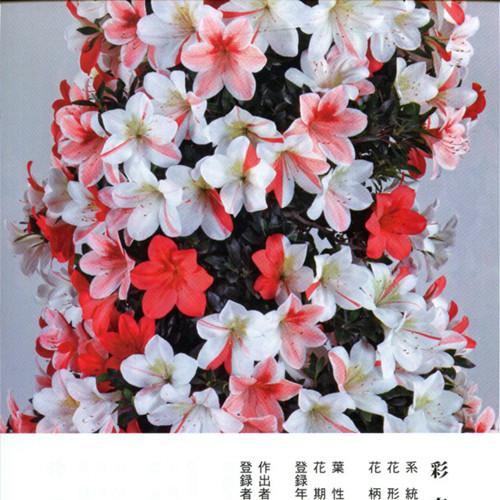 皋月杜鹃 • 彩春Saishun