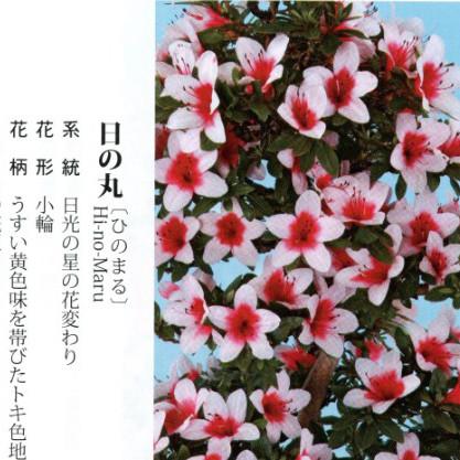 皋月杜鹃 • 日之丸Hi-no-Maru