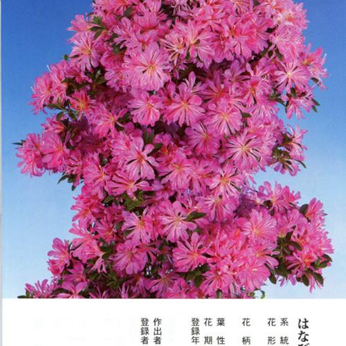 皋月杜鹃 • 花瓶Hanabin