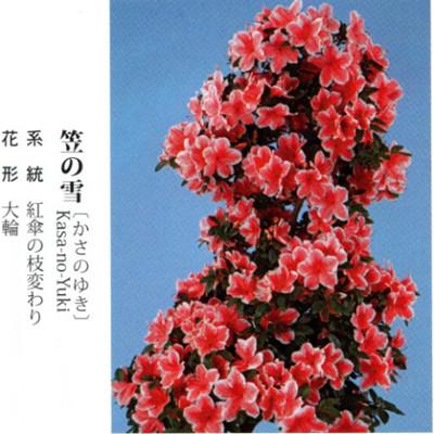 皋月杜鹃 • 笠之雪 Kasa-no-Yuki