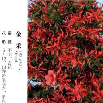 皋月杜鹃 • 金采Kinsai