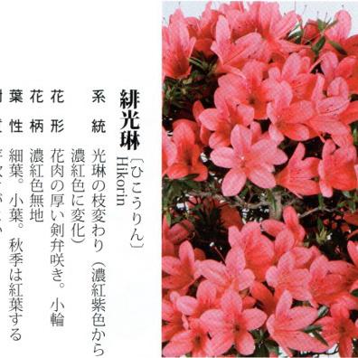 皋月杜鹃 • 绯光琳Hikorin