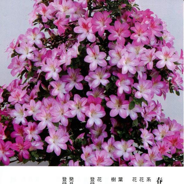皋月杜鹃 • 春苑Shunen
