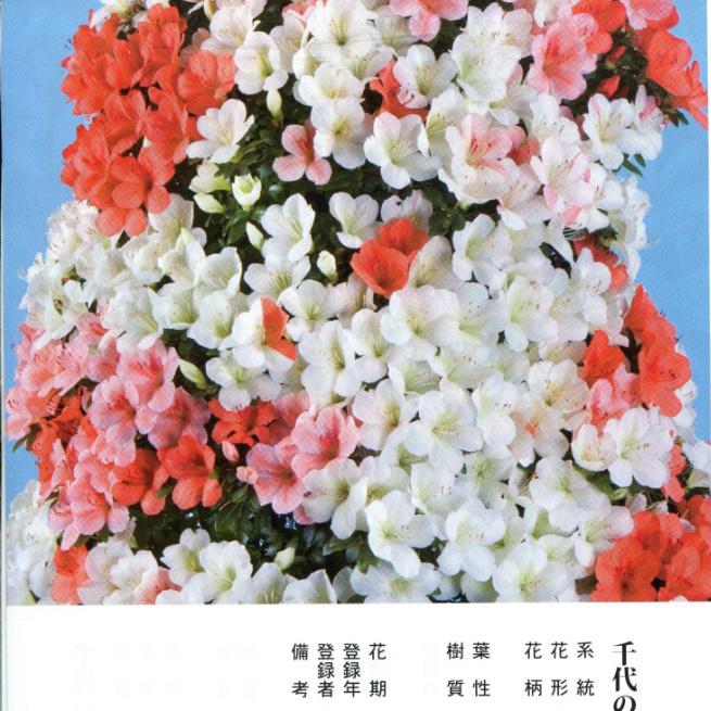 皋月杜鹃:千代之誉Chiyo-no-Homare