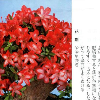 皋月杜鹃 • 绯缄Hiodoshi