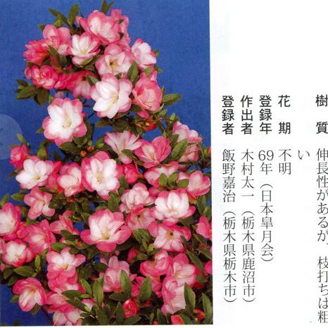 皋月杜鹃:八重之月Yae-no-Tsuki