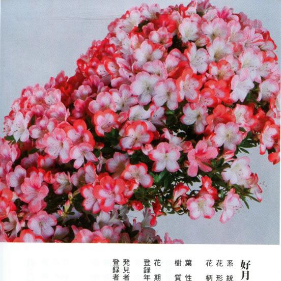 皋月杜鹃 • 好月之誉Kogetsu-no-Homare