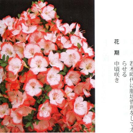 皋月杜鹃 • 酒中花Shuchuka