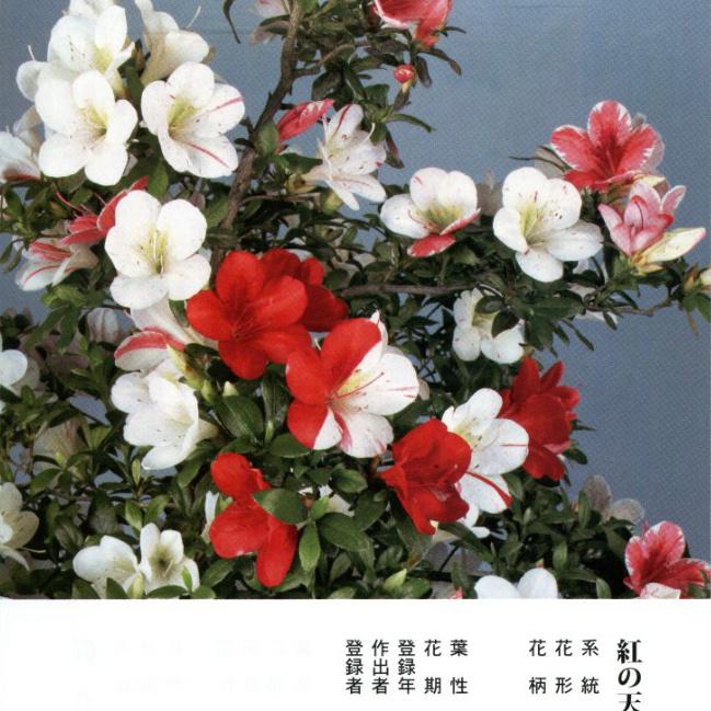 皋月杜鹃:红之天使Kurenai-no-Tenshi