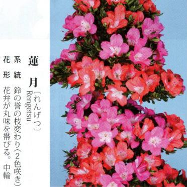 皋月杜鹃 • 莲月Rengetsu