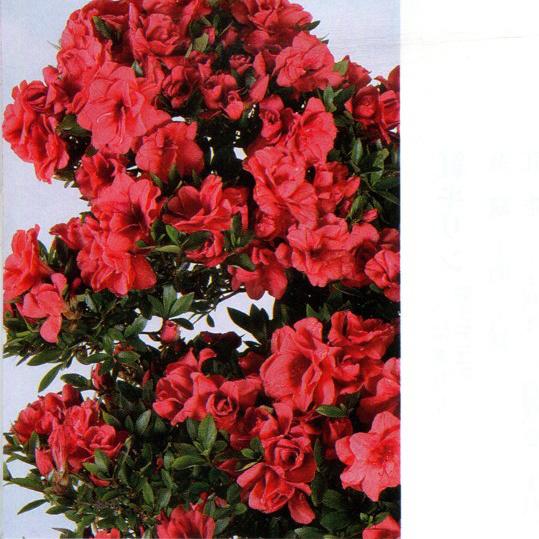 皋月杜鹃:红牡丹Benibotan